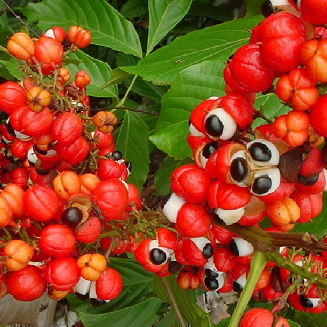 guarana afrorevil